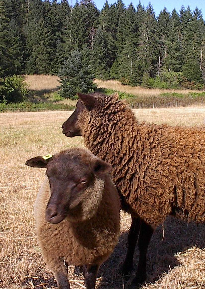 Shetland sheep at home in Gabriola